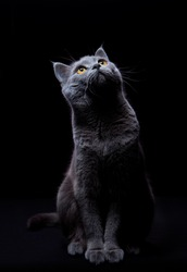 cute cat looking up sitting isolated on a black background lit from above