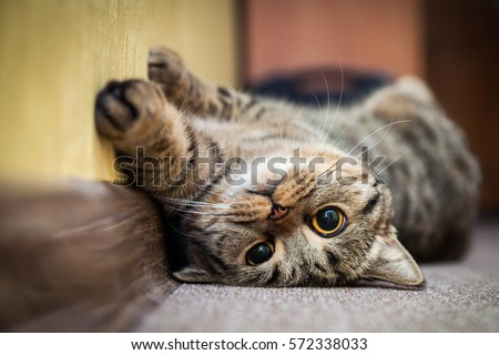 Photo of  Cute cat lying on his back on the carpet. Breed British mackerel with yellow eyes and a bushy mustache. Close up.