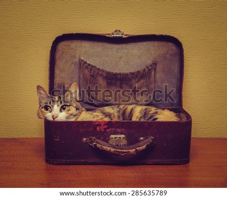 Cute cat of tortoiseshell color lying in a vintage small suitcase indoor