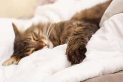 Cute cat seeping in bed. Selective focus on paw.