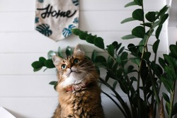Cute cat sitting under green plant branches and relaxing on wooden shelf on white wall backgroud in stylish room. Maine coon with green eyes looking  with funny emotions. Space for text