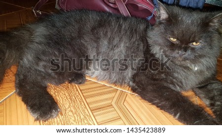 cute cat smokey (for animal lover)
