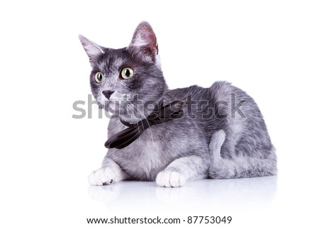 cute cat with a bow tie at its neck lying down on a white background