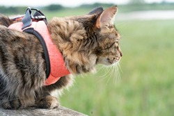 Cute cat with her new pink harness chilling on a wooden bird watching tower in the park. Fluffy kitten enjoying its walk in the park. Cat on a leach looking for pray. Wild cat hunting for birds