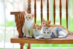 Cute cats looking at camera.Kittens sitting on country wooden bench in outdoor.Happy feline family.American Curl kitty.Young feline together.Family of tabby.Domestic pets.Togetherness.Baby cat.