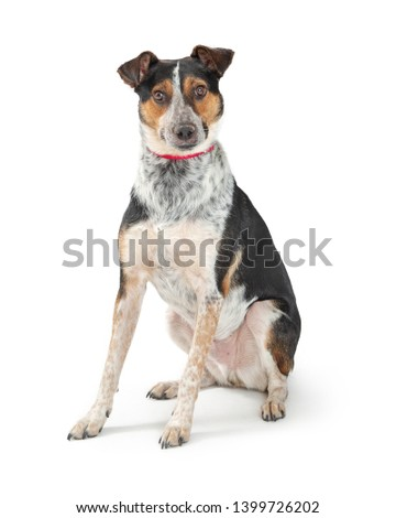 Cute Cattle Dog mixed breed dog sitting on white background looking at camera with attention