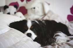 Cute Cavalier King Charles Spaniel at a cozy home being cuddly