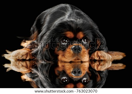 Cute Cavalier king Charles Spaniel on a black background with reflection
