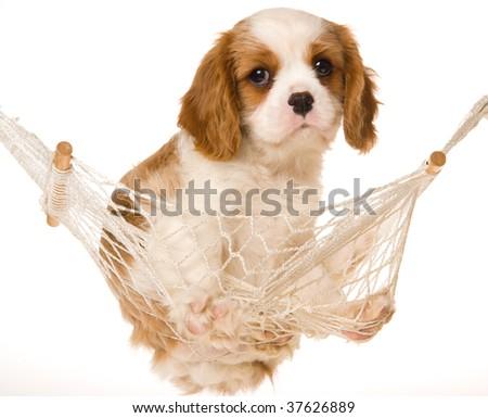 Cute Cavalier King Charles Spaniel Puppy Cute Cavalier King Charles