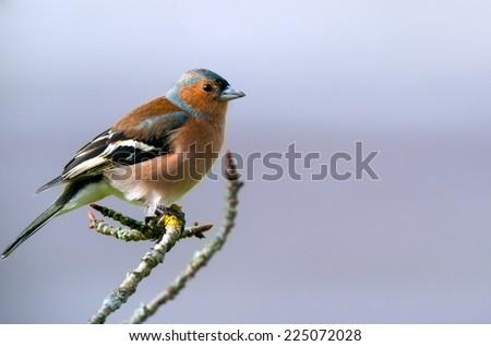 cute chaffinch bird on a twig