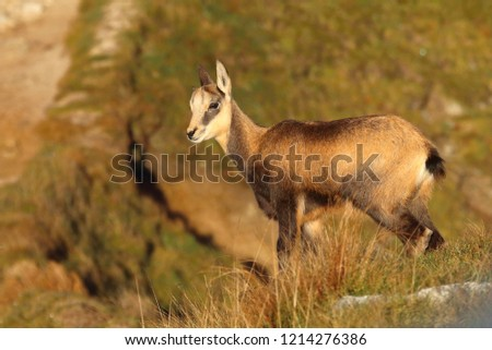 Cute chamois baby in mountains