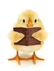 Cute chick is reading book funny conceptual photo