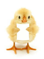 Cute chick is reading or holding blank white paper note funny conceptual photo