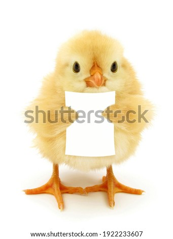 Cute chick is reading or holding blank white paper note funny conceptual photo Stockfoto ©