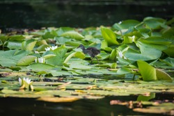 Cute chick of Common moorhen (waterhen or swamp chicken) on wild water lily green leaves on pond in summer day