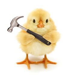 Cute chick with hammer funny conceptual photo
