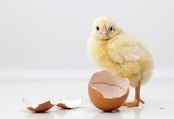 Cute chicken with eggs