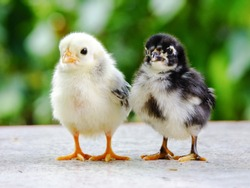 Cute chicks, yellow and black.