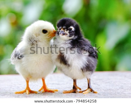 Cute chicks, yellow and black. #794854258