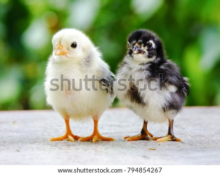 Cute chicks, yellow and black. #794854267