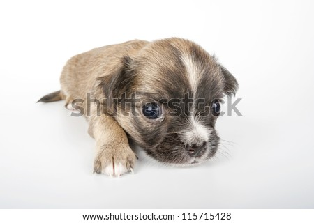 cute Chihuahua baby  close-up on white background