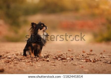 cute Chihuahua dog for a walk in autumn