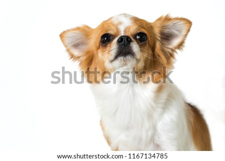 Cute chihuahua dog isolated on white background #1167134785