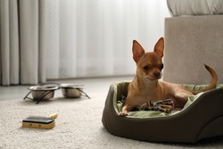 Cute Chihuahua dog on sleeping place in room. Pet friendly hotel