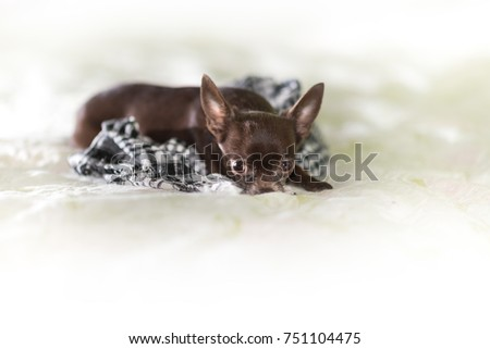 Cute chihuahua dog want to sleep on white soft bed ストックフォト ©