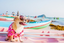 Cute Chihuahua dog wearing sunglasses  on a Kayak at the ocean shore