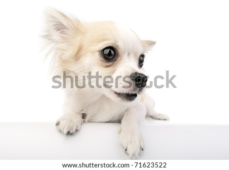 Cute chihuahua dog with parted lips portrait close-up over a white banner