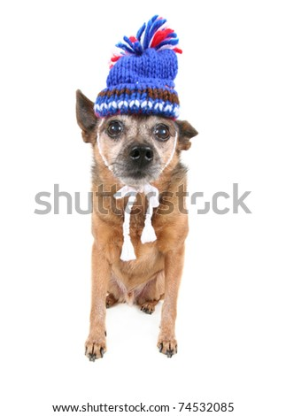 cute chihuahua dressed up in a hat