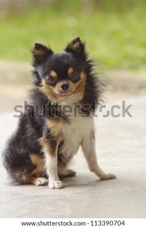 Cute chihuahua looking at the camera