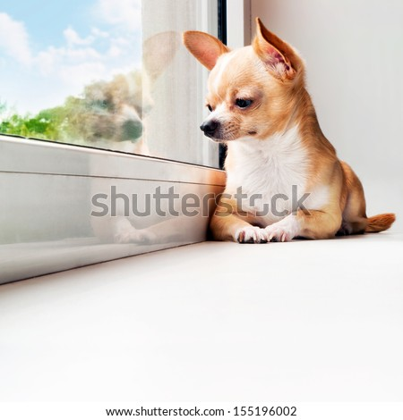 Cute chihuahua looking out the window. Small dog waiting for walking. Alone home. Friendly mini dog.