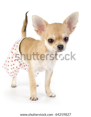 cute chihuahua puppy dressed in white silk panties with red hearts standing on white background