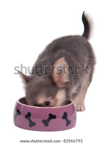 Cute chihuahua puppy eating from a pink bowl, isolated on white background