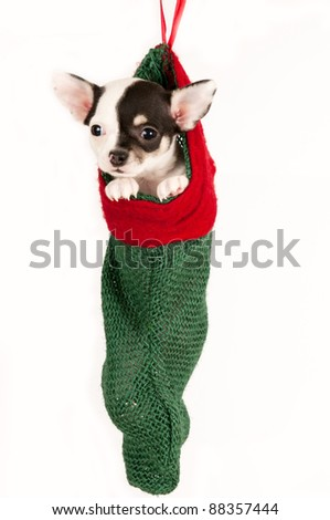Cute chihuahua puppy, hanging in a Christmas stocking.