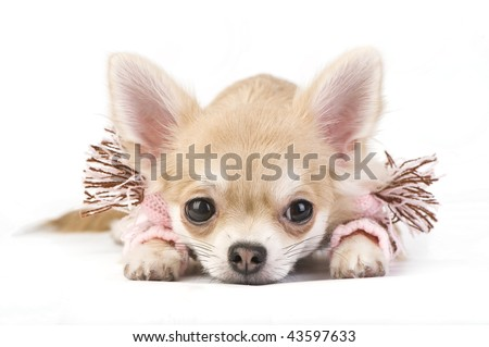 Cute chihuahua puppy in a pink scarf isolated on white
