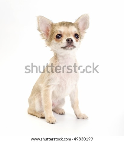 Cute chihuahua  puppy sitting  isolated on white background