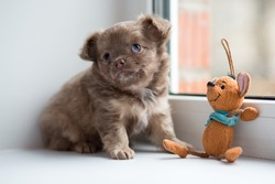 Cute chihuahua puppy sitting on the windowsill with toy.