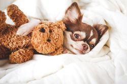 Cute chihuahua puppy sleeping with teddy bear on the white bed.Vintage style