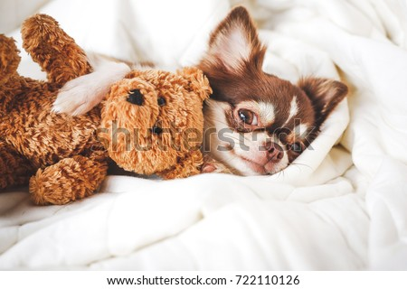 Cute chihuahua puppy sleeping with teddy bear on the white bed.Vintage style #722110126