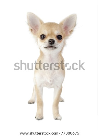 cute chihuahua puppy standing straight looking at camera isolated on white background