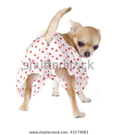 cute chihuahua puppy with funny panties isolated on white