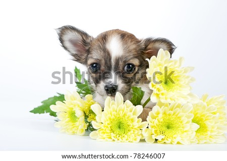 cute chihuahua puppy with golden chrysanthemums flowers close-up on white background