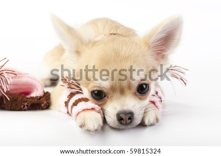 cute chihuahua puppy with striped socks and hat lying down on white background close-up