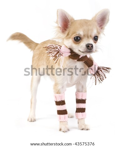 cute chihuahua puppy with striped socks and scarf isolated on white