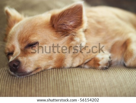 Cute chihuahua sleeping on couch.