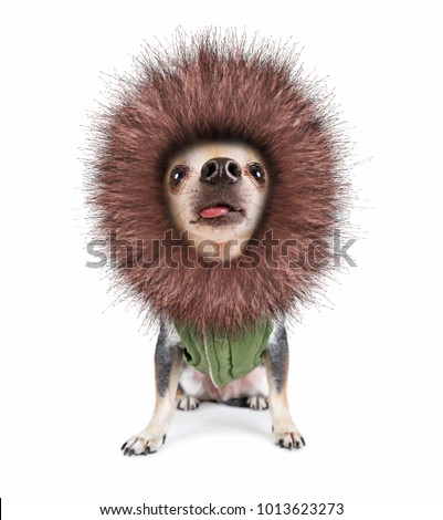 cute chihuahua with his tongue hanging out looking up with a furry hooded jacket on isolated on a white background super wide angle
