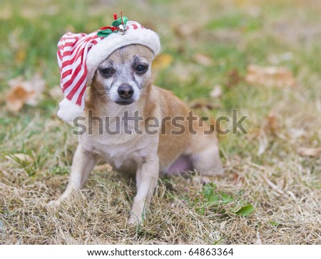 cute Chihuahua  with Santa hat